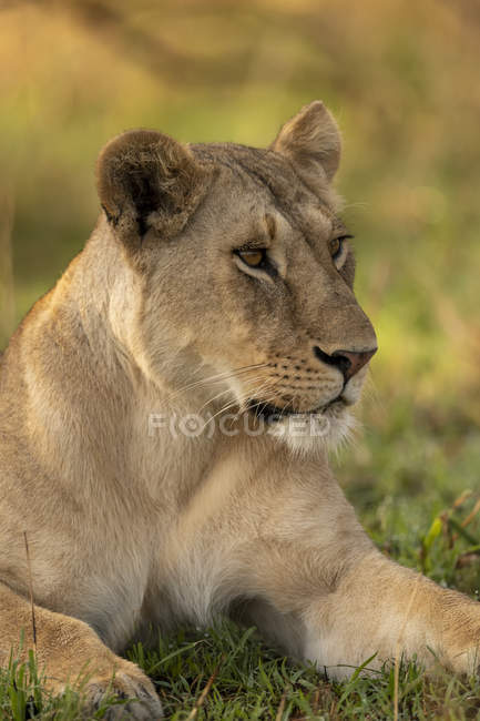 Majestic lioness or panthera leo at wild life lying in grass — Stock Photo
