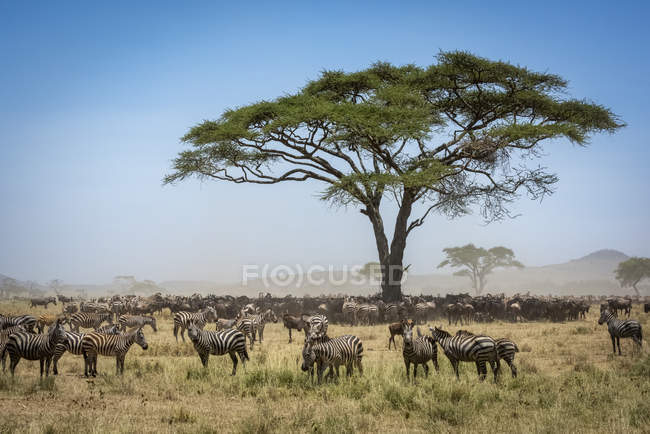 Confusion of Blue wildebeest standing under acacia with a herd of Plains zebra at wild life — Stock Photo