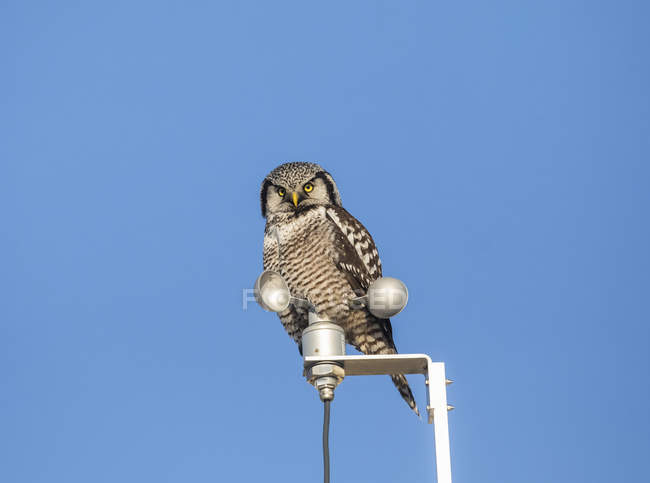 Scenic view of perched Northern Hawk Owl at lantern — Foto stock