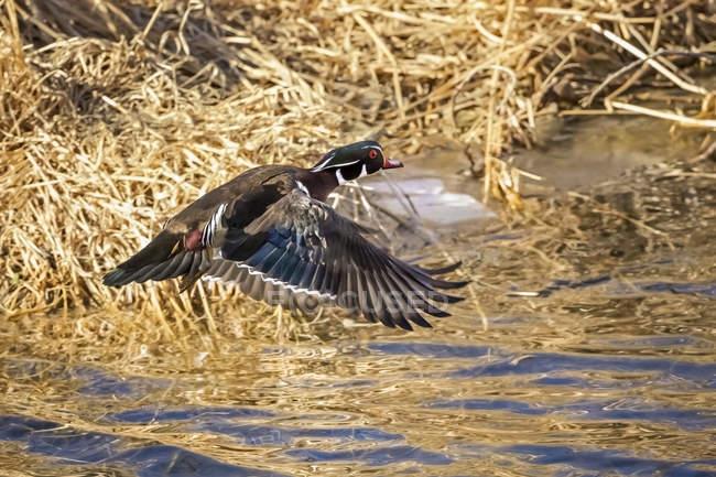 Деревянная утка (Asponsa), летающая над водой, Денвер, Колорадо, Соединенные Штаты Америки — стоковое фото