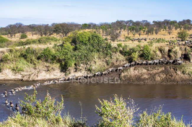 Vista panoramica di maestosi gnu blu che attraversano il fiume in una natura selvaggia — Foto stock