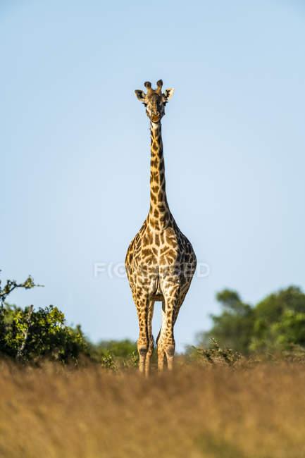 Vista panoramica della giraffa masai nella natura selvaggia preservare — Foto stock