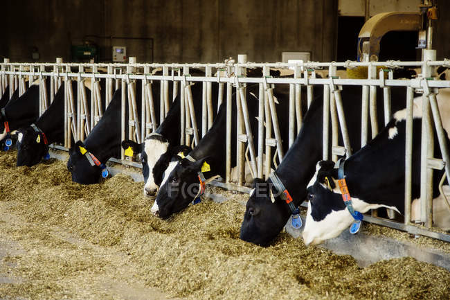 Holstein dairy cows with identification tags on their ears standing in a row along the rail of a feeding station on a robotic dairy farm, North of Edmonton; Alberta, Canada — Stock Photo