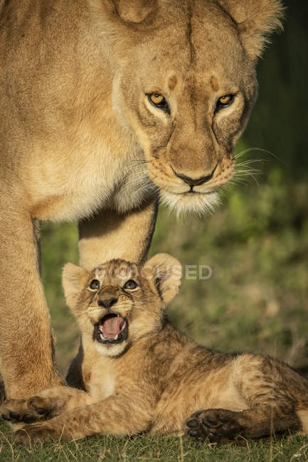 Majestic lioness or panthera leo at wild life with cub — Stock Photo