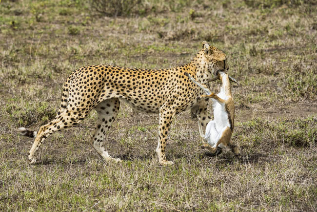 Female Cheetah drags freshly killed Thomson Gazelle — стоковое фото