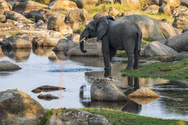 Bellissimo elefante grigio africano nella natura selvaggia, Parco Nazionale del Serengeti; Tanzania — Foto stock