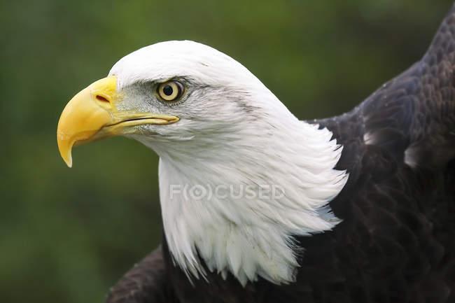 Retrato de un águila calva contra fondo borroso - foto de stock