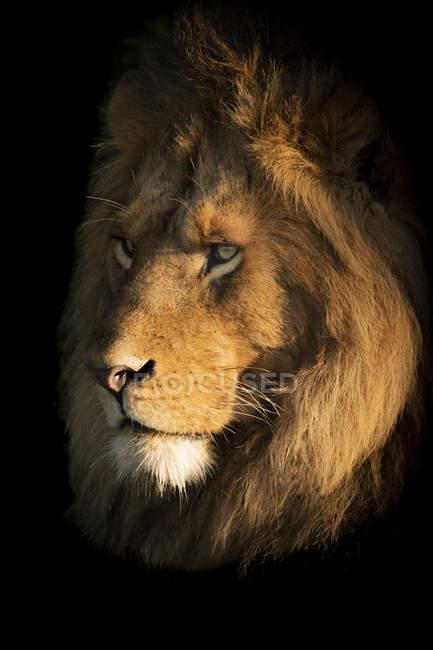 Maestoso leone maschio in natura selvaggia museruola primo piano — Foto stock