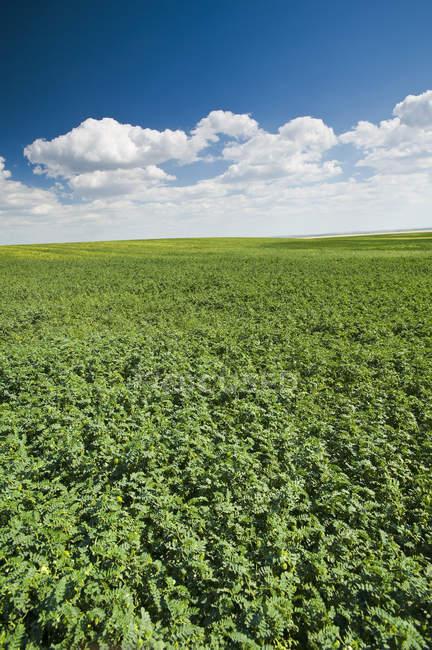 Campo di ceci, vicino a Kincaid, Saskatchewan, Canada — Foto stock