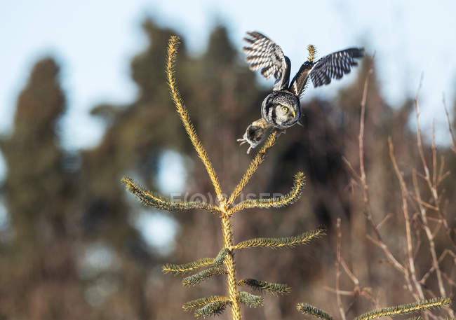 Landschaftliche Aussicht auf die thronende Nördliche Hawk Eule auf Baum — Stockfoto