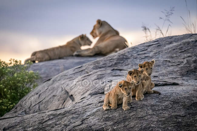 Little cubs in front of lionesses at wild life — стоковое фото