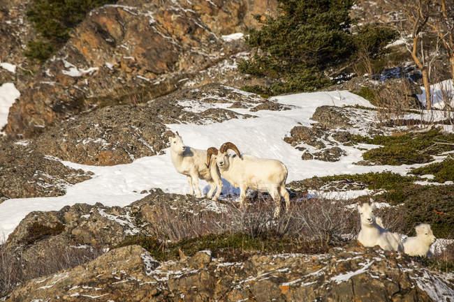 Dall béliers de moutonavec la brebis à la nature sauvage, parc national et réserve de Denali, Alaska, Etats-Unis d'Amérique — Photo de stock