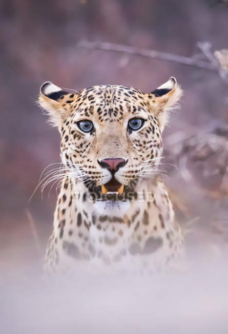 Scenic view of majestic leopard in wild nature, blurred background — Stock Photo