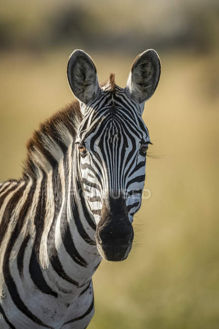 Close-up of plains zebra looking at camera at wild life — Stock Photo