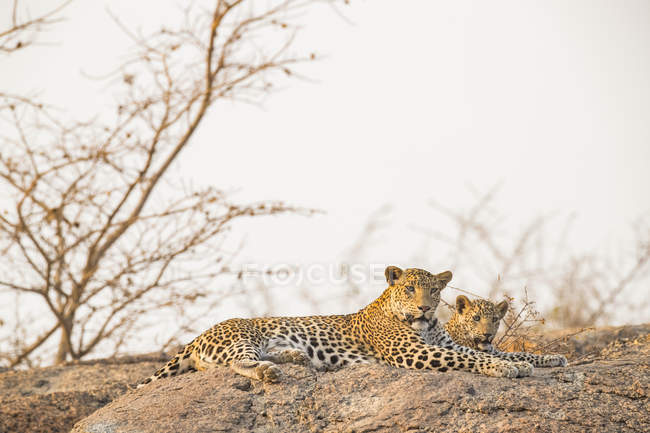 Scenic view of majestic leopards in wild nature relaxing on rock — Stock Photo