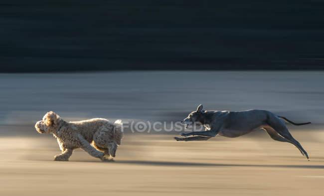 Zwei Hunderassen laufen; Südschilde, Reifen und Verschleiß, England — Stockfoto