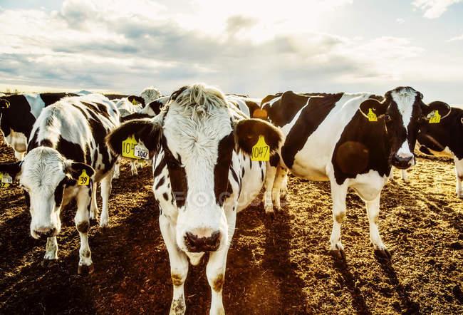 Vacas Holstein curiosas mirando la cámara mientras están de pie en un área cercada con etiquetas de identificación en sus oídos en una granja lechera robótica, al norte de Edmonton; Alberta, Canadá - foto de stock