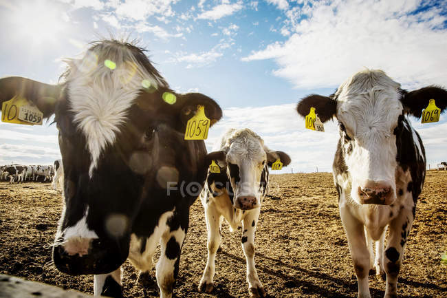 Curious Holstein cows looking at the camera while standing in a fenced area with identification tags in their ears on a robotic dairy farm, North of Edmonton; Alberta, Canada — Stock Photo