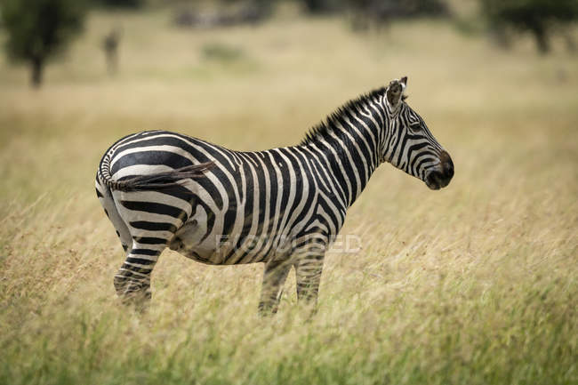 Plains zebra standing facing right in grass at wild life — Stock Photo