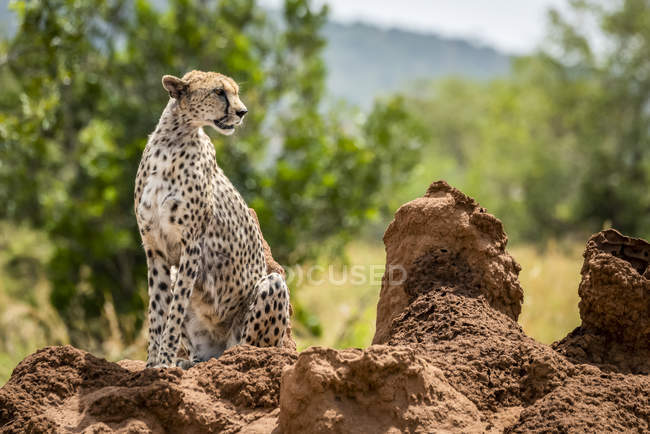 Cheetah sitting on termite mound turning head — Stock Photo