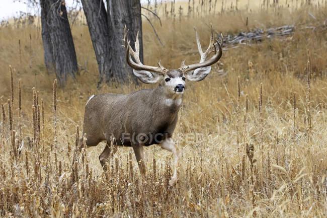 Жук - олень або одокіл - гемоній, що стоїть на трав