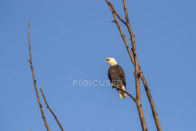 Bald eagle calling out while perched in a tree against a blue sky — стоковое фото