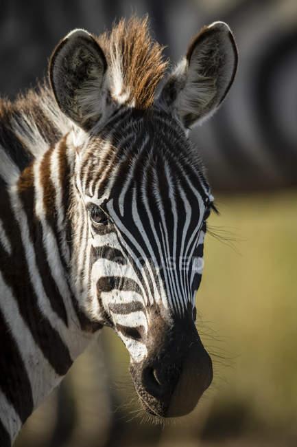 Plan rapproché de jeunes plaines zèbre regardant l'appareil-photo à la vie sauvage — Photo de stock