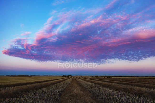 Поле каноли при заході сонця з блискучими рожевими хмарами, Юридичний округ Альберта, Канада. — стокове фото