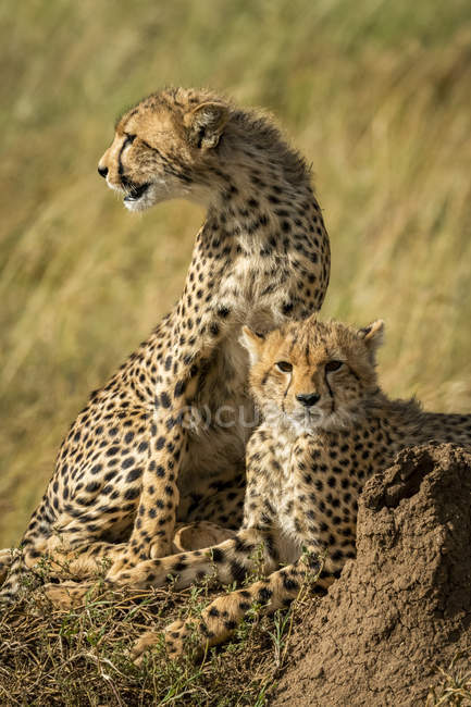 Closeup view of majestic cheetahs in wild nature — Stock Photo