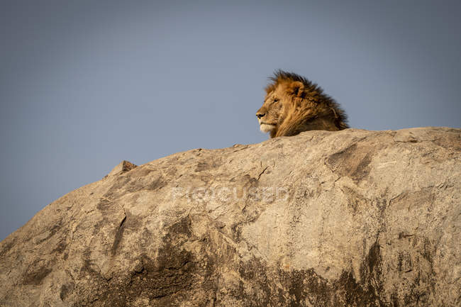 Majestic male lion in wild nature on rock — Stock Photo