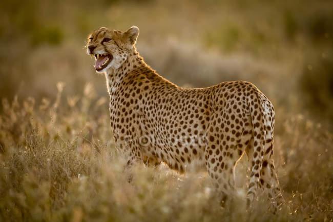 Крупним планом на величний Гепард у дикій природі — стокове фото