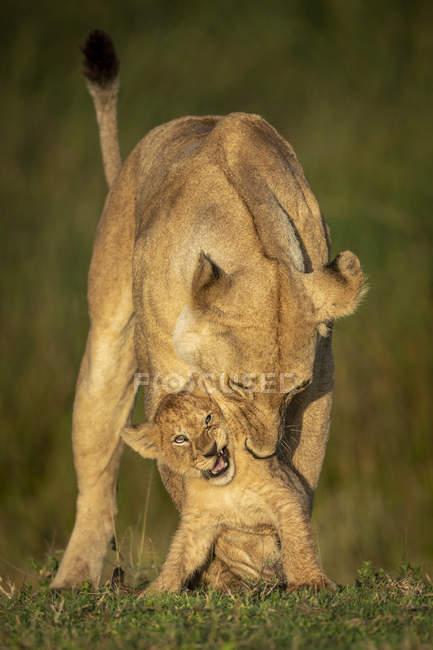 Lionne majestueuse ou panthera leo à la vie sauvage avec l'ourson dans l'herbe — Photo de stock