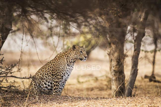 Сценический вид на величественного леопарда в дикой природе в лесу — стоковое фото