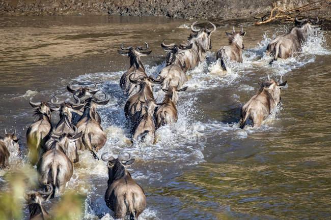 Malerischer Blick auf majestätische blaue Gnus überqueren Fluss in wilder Natur — Stockfoto