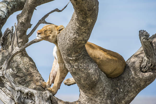 Majestic lioness or panthera leo at wild life on tree — Stock Photo
