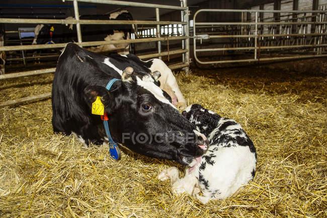 Vaca Holstein con su becerro recién nacido en un bolígrafo en una granja lechera robótica, al norte de Edmonton; Alberta, Canadá - foto de stock