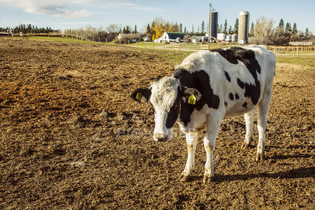 Holstein cow standing in a fenced area with identification tags in it's ears and farm structures in the background on a robotic dairy farm, North of Edmonton; Alberta, Canada — Stock Photo