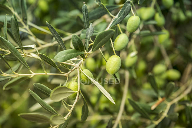 Close-up of green olives on a tree at Groznjan, Istria, Croatia — Stock Photo