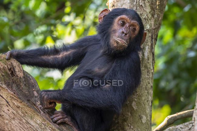 Giovane scimpanzé (Pan troglodytes) adagiato su un albero nel Parco Nazionale delle Montagne Mahale sulla riva del Lago Tanganika; Tanzania — Foto stock