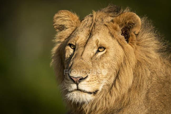 Majestätischer männlicher Löwe in wilder Natur Schnauze Nahaufnahme — Stockfoto
