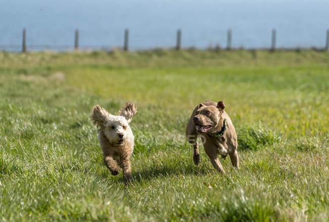 Zwei Hunde, die auf einer Wiese laufen; Südschilder, Reifen und Abnutzung, England — Stockfoto