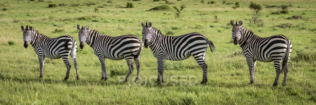 Panorama of four plains zebra eyeing camera at wild life — стоковое фото