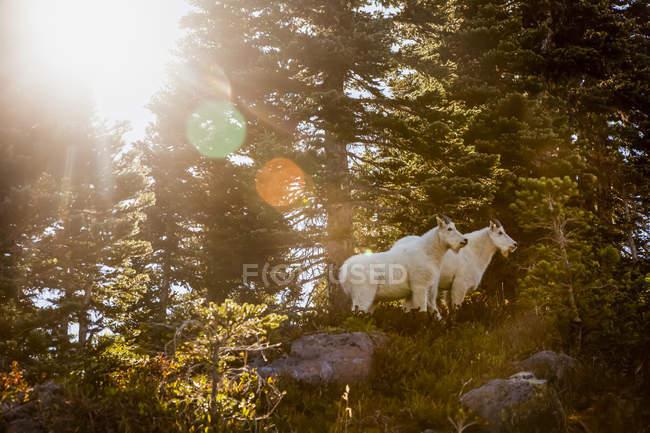 Malerischer Blick auf Bergziegen unter Bäumen im Kenai-Fjord-Nationalpark, Alaska, Vereinigte Staaten von Amerika — Stockfoto