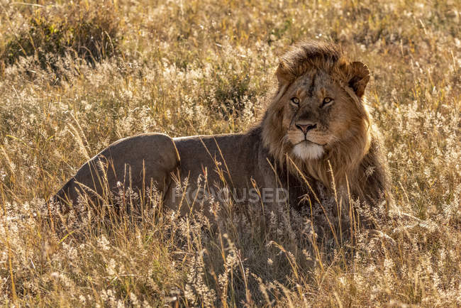 Величественный самец льва в дикой природе, лежащий в траве — стоковое фото