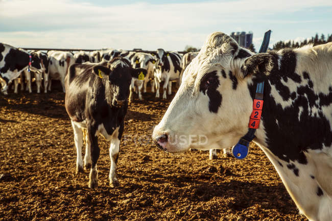 Un rebaño de vacas Holstein de pie en una zona cercada con etiquetas de identificación en sus oídos en una granja lechera robótica, al norte de Edmonton; Alberta, Canadá - foto de stock