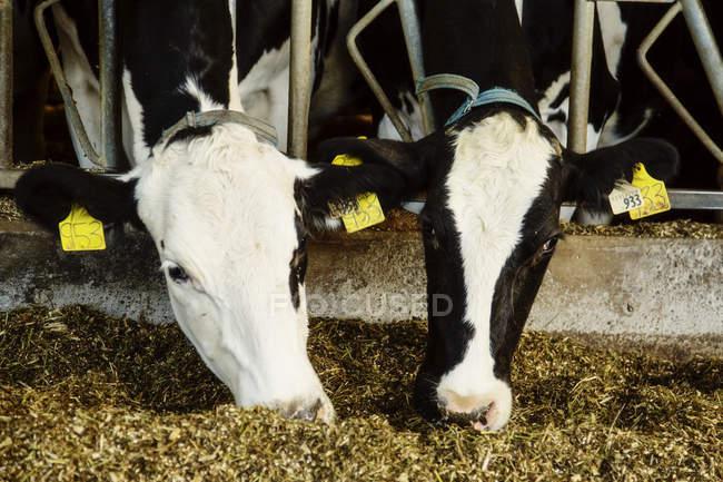 Vacche da latte Holstein con targhette di identificazione sulle orecchie in fila lungo la rotaia di una stazione di alimentazione in un'azienda robotica di caseificio, a nord di Edmonton; Alberta, Canada — Foto stock