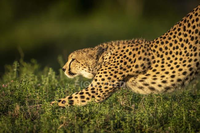 Vista primo piano del ghepardo maestoso in natura selvaggia — Foto stock