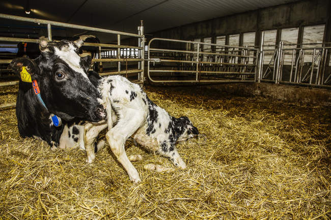 Holstein cow with her newborn calf in a pen on a robotic dairy farm, North of Edmonton; Alberta, Canada — Stock Photo