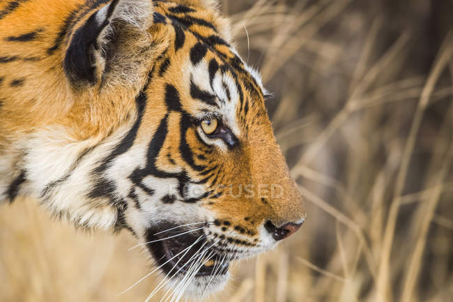 Closeup view of majestic bengal tiger — Stock Photo
