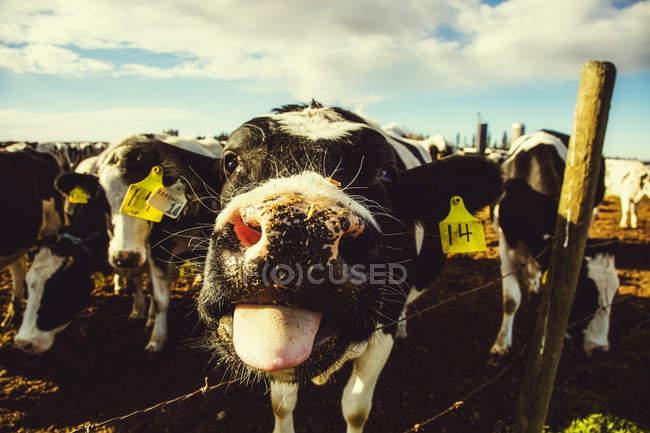 Primer plano de una curiosa vaca Holstein con etiquetas de identificación, mirando la cámara y sobresaliendo la lengua mientras está de pie en una cerca de alambre de la barba en una granja lechera robótica, al norte de Edmonton; Alberta, Canadá - foto de stock